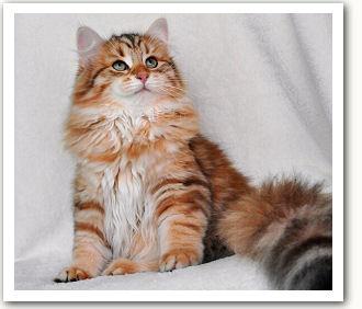 Koty Syberyjskie Amavipl